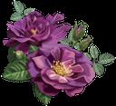 фиолетовая роза, цветок розы, бутон розы, цветы, флора, роза, зеленое растение, purple rose, rose flower, flowers, green plant, purpurrose, rosenblüte, rosenknospe, blumen, grüne pflanze, rose pourpre, fleurs, flore, rose, plante verte, rosa púrpura, capullo de rosa, rosa porpora, fiore rosa, bocciolo di rosa, fiori, pianta verde, rosa roxo, rosa flor, rosebud, flores, flora, rosa, planta verde, фіолетова троянда, квітка троянди, бутон троянди, квіти, троянда, зелена рослина