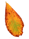 красный лист, осенние листья, листья, осень, лист дерева, опавший лист, red leaf, autumn leaves, leaves, autumn, leaf of a tree, fallen leaf, rotes blatt, blätter im herbst, blätter, herbst, blatt des baumes, gefallene blatt, feuille rouge, feuilles d'automne, les feuilles, l'automne, les feuilles de l'arbre, feuille tombée, de hoja roja, hojas de otoño, hojas, otoño, hoja del árbol, hoja caída, foglia rossa, foglie di autunno, foglie, autunno, foglia dell'albero, foglia caduta, folha vermelha, folhas de outono, folhas, outono, folha da árvore, folha caída