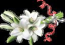 лилия, цветок лилии, белая лилия, букет из лилий, цветы, белый цветок, флора, lily, lily flower, white lily, bouquet of lilies, flowers, white flower, lilie, lilienblume, weiße lilie, lilienstrauss, blumen, weiße blume, lis, fleur de lis, lis blanc, bouquet de lys, fleurs, fleur blanche, flore, lirio, flor de lirio, lirio blanco, ramo de lirios, flor blanca, giglio, fiore di giglio, giglio bianco, bouquet di gigli, fiori, fiore bianco, lírio, flor de lírio, lírio branco, buquê de lírios, flores, flor branca, flora, лілія, квітка лілії, біла лілія, букет з лілій, квіти, біла квітка
