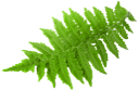 зеленый лист, ветка папоротника, зеленое растение, листья папоротника, зеленый, папоротник, green leaf, fern branch, green plant, fern leaves, green, fern, grünes blatt, farn zweig, grüne pflanze, farn blätter, grün, farn, feuille verte, branche de fougère, plante verte, feuilles de fougère, vert, fougère, hoja verde, rama de helecho, hojas de helecho, helecho, foglia verde, ramo di felce, pianta verde, foglie di felce, felce, folha verde, ramo de samambaia, planta verde, folhas de samambaia, verde, samambaia, зелений лист, гілка папороті, зелена рослина, листя папороті, зелений, папороть