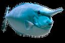 синешипая рыба носорог, короткорылая рыба носорог, морская рыба, океаническая рыба, fish rhinoceros, short-fished rhinoceros fish, sea fish, ocean fish, fisch nashorn, nashorn korotkorylaya fisch, meeresfisch, seefisch, rhinocéros poissons, rhinocéros poissons korotkorylaya, poissons de mer, rinoceronte de peces, peces de rinoceronte korotkorylaya, peces de agua salada, peces del océano, rinoceronte di pesce, pesce rinoceronte korotkorylaya, pesce di mare, pesce oceano, rinoceronte peixes, rinoceronte peixes korotkorylaya, peixes de água salgada, peixes do oceano