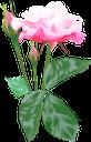 розовая роза, цветок розы, цветы, флора, pink rose, flower roses, flowers, rosarose, blumenrosen, blumen, rose rose, fleurs roses, fleurs, flore, flores rosas, fiori rose, fiori, rosa rosa, flor rosas, flores, flora, рожева троянда, квітка троянди, квіти