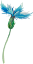 цветы, голубой цветок, полевые цветы, флора, flowers, blue flower, wild flowers, blumen, blaue blume, wilde blumen, fleurs, fleur bleue, fleurs sauvages, flore, flor azul, fiori, fiori blu, fiori selvatici, flores, flores azuis, flores silvestres, flora, квіти, блакитний квітка, польові квіти