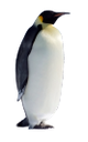 пингвин, императорский пингвин, морская птица, penguin, emperor penguin, sea bird, pinguin, kaiserpinguin, seevogel, pingouin, manchot empereur, oiseaux de mer, pingüino, pingüino de emperador, pájaro de mar, pinguino, pinguino imperatore, uccello marino, pinguim, pinguim de imperador, pássaro de mar