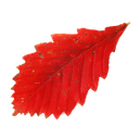 красный лист дуба, осень, осенние листья, red leaf of an oak tree, autumn, autumn leaves, rot eichenlaub, herbst, blätter im herbst, hoja de roble rojo, otoño, hojas de otoño, foglia di quercia rossa, autunno, le foglie d'autunno, folha de carvalho vermelho, outono, folhas de outono