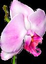 орхидея, розовый цветок, цветы, флора, orchid, pink flower, flowers, orchidee, rosa blume, blumen, orchidée, fleur rose, fleurs, flore, orchidea, fiore rosa, fiori, orquídea, flor rosa, flores, flora, орхідея, рожева квітка, квіти
