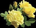 желтая роза, цветок розы, бутон розы, цветы, флора, роза, желтый, зеленое растение, yellow rose, rose flower, flowers, yellow, green plant, gelbe rose, rosenblüte, rosenknospe, blumen, gelb, grüne pflanze, rose jaune, fleur rose, bouton de rose, fleurs, flore, rose, jaune, plante verte, rosa amarilla, capullo de rosa, amarillo, rosa gialla, fiore rosa, bocciolo di rosa, fiori, giallo, pianta verde, rosa amarela, rosa flor, rosebud, flores, flora, rosa, amarelo, planta verde, жовта троянда, квітка троянди, бутон троянди, квіти, троянда, жовтий, зелена рослина