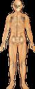 тело человека, скелет человека, череп, кости, анатомия, внутренние органы, медицина, строение тела, human body, human skeleton, skull, bones, anatomy, internal organs, medicine, body structure, menschlicher körper, menschliches skelett, schädel, knochen, innere organe, medizin, körperstruktur, corps humain, squelette humain, crâne, os, anatomie, organes internes, médecine, structure du corps, cuerpo humano, cráneo, huesos, anatomía, órganos internos, estructura del cuerpo, corpo umano, scheletro umano, cranio, ossa, organi interni, struttura corporea, corpo humano, esqueleto humano, crânio, ossos, anatomia, órgãos internos, medicina, estrutura do corpo, тіло людини, скелет людини, кістки, анатомія, внутрішні органи, будова тіла