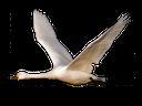 лебедь, белый лебедь, swan, white swan, schwan, weißer schwan, cygne, cygne blanc, cisne blanco, cigno, cigno bianco, cisne, cisne branco