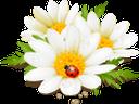 белая ромашка, полевые цветы, божья коровка, белый цветок, цветы, флора, white daisy, wildflowers, ladybug, white flower, flowers, weißes gänseblümchen, wildblumen, marienkäfer, weiße blume, blumen, marguerite blanche, fleurs sauvages, coccinelle, fleur blanche, fleurs, flore, margarita blanca, mariquita, flor blanca, margherita bianca, fiori di campo, coccinella, fiore bianco, fiori, margarida branca, flores silvestres, joaninha, flor branca, flores, flora, біла ромашка, польові квіти, сонечко, біла квітка, квіти