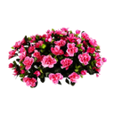 камелия, букет камелии, розовая камелия, цветущая камелия, camellia, camellia bouquet, pink camellia, flowering camellia, kamelie, blume kamelie, rosa kamelie, kamelie blooming, fleur de camélia, camélia rose, camélia floraison, flor de camelia, camelia rosada, floración de la camelia, camelia, fiore camelia, camelia rosa, fioritura camelia, camélia, flor camélia, camélia cor de rosa, flores de camélia