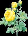 желтый цветок, роза, желтая роза, цветы, садовые цветы, зеленое растение, садовый цветок, природа, флора, yellow flower, flowers, garden flowers, green plant, garden flower, gelbe blume, blumen, gartenblumen, grüne pflanze, gartenblume, natur, fleur jaune, fleurs, fleurs de jardin, plante verte, fleur de jardin, nature, flore, flor amarilla, flores del jardín, flor del jardín, naturaleza, fiore giallo, fiori, fiori da giardino, pianta verde, fiore da giardino, natura, flor amarela, flores, flores do jardim, planta verde, flor do jardim, natureza, flora, жовта квітка, квіти, садові квіти, зелена рослина, садова квітка