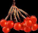 рябина, красная рябина, плоды рябины, осень, ягоды рябины, ягоды, red rowan, autumn, rowan berries, berries, eberesche, rote eberesche, herbst, ebereschenbeeren, beeren, sorbier, sorbier rouge, automne, baies de sorbier, baies, rowan rojo, otoño, bayas de rowan, bayas, sorbo, sorbo rosso, autunno, bacche di sorbo, bacche, rowan, rowan vermelha, outono, bagas de rowan, bagas, горобина, червона горобина, плоди горобини, осінь, ягоди горобини, ягоди