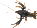 рак, речной рак, ракообразные, crayfish, crustaceans, krebs, krebse, muscheln, cancer, écrevisses, fruits de mer, cáncer, cangrejos, moluscos, il cancro, gamberi, frutti di mare, cancro, lagostas, crustáceos, річковий рак, ракоподібні