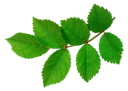 ветка дерева, зеленый лист, branch of a tree, green leaf, baumzweig, grünes blatt, branche d'arbre, feuille verte, rama de un árbol, hoja verde, ramo di un albero, foglia verde, galho de árvore, folha verde
