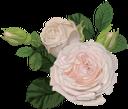 белая роза, цветок розы, бутон розы, цветы, флора, роза, зеленое растение, white rose, rose flower, flowers, green plant, weiße rose, rosenblüte, rosenknospe, blumen, grüne pflanze, rose blanche, fleur rose, bouton de rose, fleurs, flore, rose, plante verte, rosa blanca, capullo de rosa, rosa bianca, fiore rosa, bocciolo di rosa, fiori, pianta verde, rosa branca, rosa flor, rosebud, flores, flora, rosa, planta verde, біла троянда, квітка троянди, бутон троянди, квіти, троянда, зелена рослина