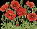 цветок, зеленое растение, красный мак, распустившийся цветок, полевые цветы, flower, green plant, red poppy, open flower, wildflowers, blume, grüne pflanze, roter mohn, offene blume, wildblumen, fleur, plante verte, rouge coquelicot, fleur ouverte, fleurs sauvages, rojo amapola, flor abierta, fiore, pianta verde, rosso papavero, fiore aperto, fiori di campo, flor, planta verde, papoila vermelha, flor aberta, flores silvestres