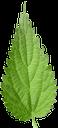 зеленый лист, зеленое растение, лист крапивы, зеленый, крапива, green leaf, green plant, nettle leaf, green, nettle, grünes blatt, grüne pflanze, nessel blatt, grün, nessel, feuille verte, plante verte, feuille d'ortie, vert, ortie, hoja verde, ortiga hoja, ortiga, foglia verde, pianta verde, foglia di ortica, ortica, folha verde, planta verde, folha de urtiga, verde, urtiga, зелений лист, зелена рослина, лист кропиви, зелений, кропива
