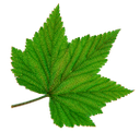зеленый лист, виноградный лист, green leaf, grape leaf, grünes blatt, weinblatt, feuille verte, raisin feuille, hoja verde, hoja de uva, foglia verde, foglia di vite, folha verde, folha de uva