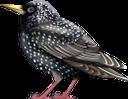 скворец, птица, отряд пернатых, фауна, starling, bird, feathered squad, star, vogel, gefiederte truppe, étourneau sansonnet, oiseau, escouade à plumes, faune, estornino, pájaro, escuadrón emplumado, storno, uccello, squadra piumata, estorninho, pássaro, pelotão de penas, fauna, шпак, птиця, загін пернатих