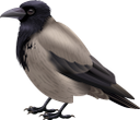 серая ворона, птица, отряд пернатых, фауна, gray crow, bird, feathered squad, graue krähe, vogel, gefiederte truppe, corbeau gris, oiseau, escouade à plumes, faune, cuervo gris, pájaro, escuadrón emplumado, corvo grigio, uccello, squadra piumata, corvo cinzento, pássaro, esquadrão de penas, fauna, сіра ворона, птах, загін пернатих