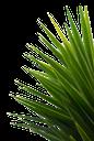 зеленая ветка пальмы, пальма, green branch of palm, palm, grüne zweig der palme, palme, green branch de palme, palmier, verde rama de palma, palmera, verde ramo di palma, palma, filial verde da palma, palmeira