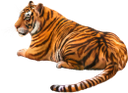 фауна, животные, кошачьи, тигр, cat, tier, katze, tiger, faune, chat, animale, gatto, fauna, animal, gato, tigre
