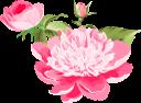 розовая хризантема, цветок хризантемы, бутон хризантемы, цветы, зеленое растение, pink chrysanthemum, chrysanthemum flower, chrysanthemum bud, flowers, chrysanthemum, green plant, rosa chrysantheme, chrysanthemenblume, chrysanthemenknospe, blumen, chrysantheme, grüne pflanze, chrysanthème rose, fleur de chrysanthème, bourgeon de chrysanthème, fleurs, flore, chrysanthème, plante verte, flor de crisantemo, capullo de crisantemo, crisantemo rosa, crisantemo fiore, crisantemo gemma, fiori, crisantemo, pianta verde, crisântemo rosa, flor de crisântemo, broto de crisântemo, flores, flora, crisântemo, planta verde, рожева хризантема, квітка хризантеми, бутон хризантеми, квіти, флора, хризантема, зелена рослина
