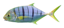 морская рыба, полосатая рыба, каранкс, золотистый каранкс, красивая полосатая рыба, sea fish, striped fish, quarry, golden quarry, beautiful striped fish, seefische, gestreiften fisch, makrelen, goldene makrelen, schöne gestreifte fisch, poissons d'eau salée, poisson rayé, carangue, carangues or, beau poisson rayé, peces de agua salada, peces rayas, jurel, jurel dorado, pez rayado hermosa, pesci di mare, pesci a strisce, carangidi, carangidi d'oro, bellissimo pesce a strisce, peixes de água salgada, peixe listrado, trevally, trevally dourado, peixe listrado bonito