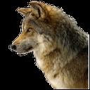 волк, серый волк, хищник, gray wolf, a predator, wolf, grauer wolf, ein raubtier, le loup, le loup gris, un prédateur, lobo gris, un depredador, lupo, lupo grigio, un predatore, lobo, lobo cinzento, um predador