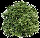 куст аукуба, зеленый куст, зеленое растение, bush of an aucuba, green bush, green plant, aucuba busch, grünen busch, grüne pflanze, aucuba buisson, buisson vert, plante verte, aucuba arbusto, aucuba cespuglio, cespuglio verde, pianta verde, arbusto aucuba, arbusto verde, planta verde