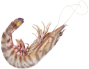 креветка, морской рак, морепродукты, ракообразные, морские креветки, shrimp, sea crab, seafood, crustaceans, sea prawns, garnelen, meer krebs, fisch, muscheln, meer garnelen, les crevettes, le cancer de la mer, fruits de mer, crustacés, crevettes marines, camarones, el cáncer de mar, mariscos, crustáceos, camarones marinos, gamberetti, il cancro del mare, frutti di mare, crostacei, gamberi marini, camarão, cancro do mar, marisco, camarão marinho, морський рак, морепродукти, ракоподібні, морські креветки