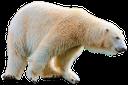белый медведь, арктическое животное, хищник, polar bear, arctic animal, predator, eisbär, arktische tier, raubtier, ours polaire, animal arctique, prédateur, oso polar, ártico animal, depredador, orso polare, animale artico, predatore, urso polar, animal ártico, predador