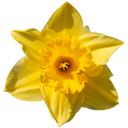 нарцисс, желтый цветок, daffodil, yellow flower, narzisse, gelbe blume, jonquille, fleur jaune, flor amarilla, fiore giallo, narciso, flor amarela