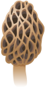 грибы, лесные грибы, mushrooms, forest mushrooms, pilze, waldpilze, champignons, champignons forestiers, setas, setas del bosque, funghi, funghi della foresta, cogumelos, cogumelos da floresta, гриби, лісові гриби, сморчок