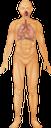 тело человека, дыхательная система, органы дыхания, легкие, анатомия, внутренние органы, медицина, строение тела, human body, respiratory system, lungs, anatomy, internal organs, medicine, body structure, menschlicher körper, atmungssystem, lunge, innere organe, medizin, körperstruktur, corps humain, système respiratoire, poumons, anatomie, organes internes, médecine, structure du corps, cuerpo humano, sistema respiratorio, pulmones, anatomía, órganos internos, estructura del cuerpo, corpo umano, apparato respiratorio, polmoni, organi interni, struttura corporea, corpo humano, sistema respiratório, pulmões, anatomia, órgãos internos, medicina, estrutura do corpo, тіло людини, дихальна система, органи дихання, легені, анатомія, внутрішні органи, будова тіла