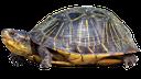 черепаха, черепаха сухопутная, панцирь черепахи, turtle, tortoise land, tortoiseshell, schildkröte, schildkröte land, schildpatt, tortue, terre de tortue, écaille de tortue, tortuga, tortuga de tierra, concha, terra tartaruga, tartaruga, terra de tartaruga, concha de tartaruga