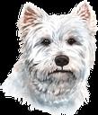 собака, вест-хайленд-уайт-терьер, домашние животные, фауна, dog, pets, hund, haustiere, chien, animaux domestiques, faune, perro, west highland white terrier, mascotas, cane, altopiano bianco west terrier, animali domestici, cão, terrier branco de montanhas ocidentais, animais de estimação, fauna, пес, вест-хайленд-уайт-тер'єр, домашні тварини