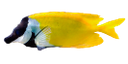 желтая рыбка, морская рыба, желтый, красивая рыба, лисица желтая, yellow fish, saltwater fish, yellow, beautiful fish, fox yellow, gelb fisch, meeresfisch, gelb, schöne fische, fuchses gelb, poissons jaunes, poissons de mer, jaune, beau poisson, renard jaune, pescados amarillos, peces de agua salada, amarillo, hermoso pez, zorro amarilla, pesce giallo, pesci di mare, giallo, bello pesce, volpe gialla, peixes amarelos, peixes de água salgada, amarelo, belo peixe, raposa amarelo, siganus vulpinus