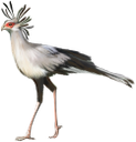 фауна, птицы, птица секретарь, bird, secretary bird, vogel, vogel sekretär, faune, oiseau, secrétaire oiseau, pájaro, pájaro de secretaria, uccello, segretario uccello, fauna, pássaro, secretário pássaro