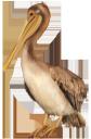 фауна, птицы, пеликан, bird, pelican, vogel, pelikan, faune, oiseau, pélican, pájaro, pelícano, uccello, pellicano, fauna, pássaro, pelicano