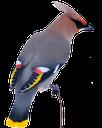птица свиристель, серая птица, waxwing bird, gray bird, waxwing vogel, grauen vogel, jaseur, oiseau gris, waxwing, pájaro gris, waxwing uccello, uccello grigio, pássaro waxwing, pássaro cinzento
