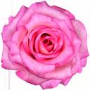 флора, цветы, распустившийся цветок, flowers, blown flower, blumen, geblasen blume, flore, fleurs, fleur soufflé, flor abierta, fiori, fiore soffiato, flora, flores, flor soprado, роза