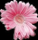 розовый цветок, розовая гербера, цветок, растение, флора, pink flower, pink gerbera, flower, plant, rosa blume, blume, pflanze, fleur rose, gerbera rose, fleur, plante, flore, flor rosada, gerbera rosado, fiore rosa, gerbera rosa, fiore, pianta, flor rosa, rosa gerbera, flor, planta, flora, рожева квітка, рожева гербера, квітка, рослина