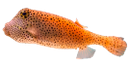 рыба для суши, рыба шар, морской деликатес, морская рыба, рыба кузовок, иглобрюхообразные, fish for sushi, fish ball, sea delicacy, sea fish, fish bodies, pufferfish, fisch für sushi, fisch schüssel, meeres zartheit, seefisch, fisch, poissons pour les sushis, un bol de poisson, la délicatesse marine, poissons de mer, poissons, pescado para sushi, pecera, delicadeza marinos, peces de mar, peces, peces cofre, pesce per il sushi, boccia per i pesci, delicatezza marine, pesce di mare, pesce, peixe para o sushi, bacia dos peixes, delicadeza marinho, peixes de mar, peixes, boxfish, tetraodontiformes