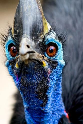 el ave más peligrosa del mundo