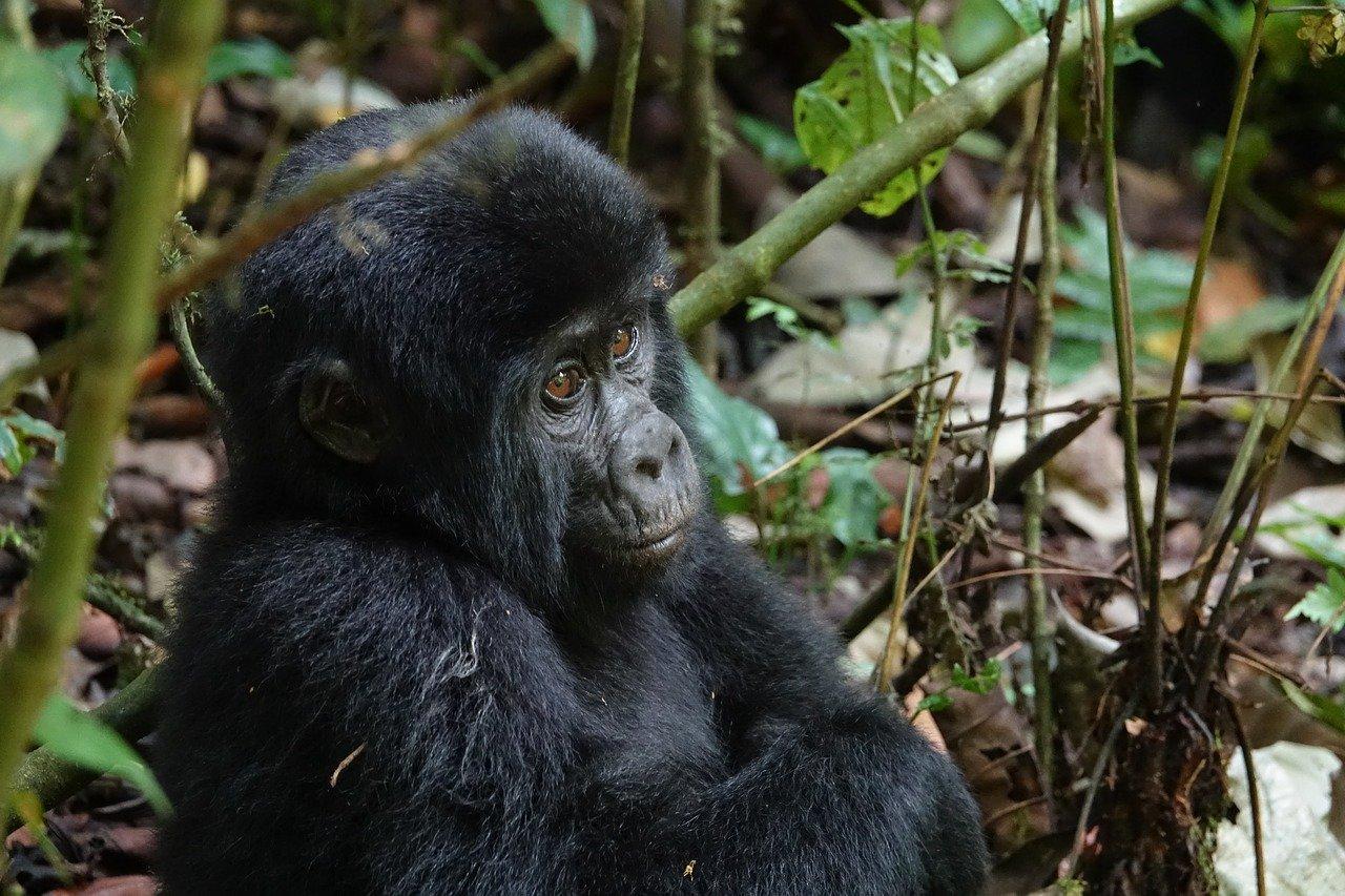 Gorila (imagen ilustrativa)/Foto: Pixabay