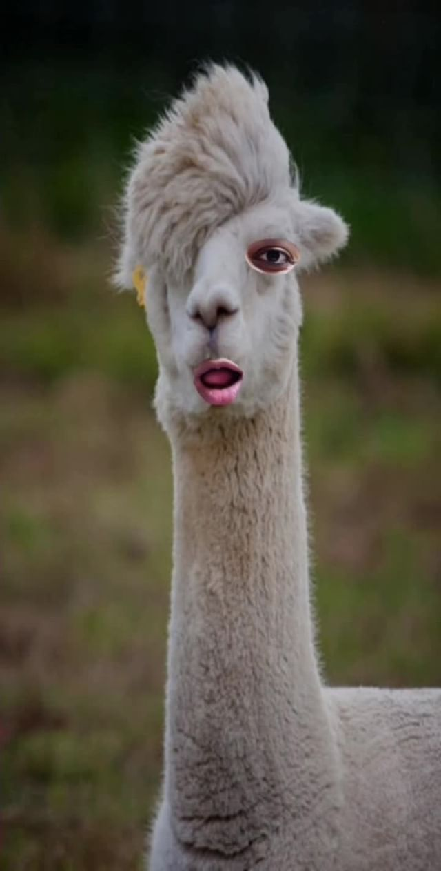 Instagram filter Funny Alpacas