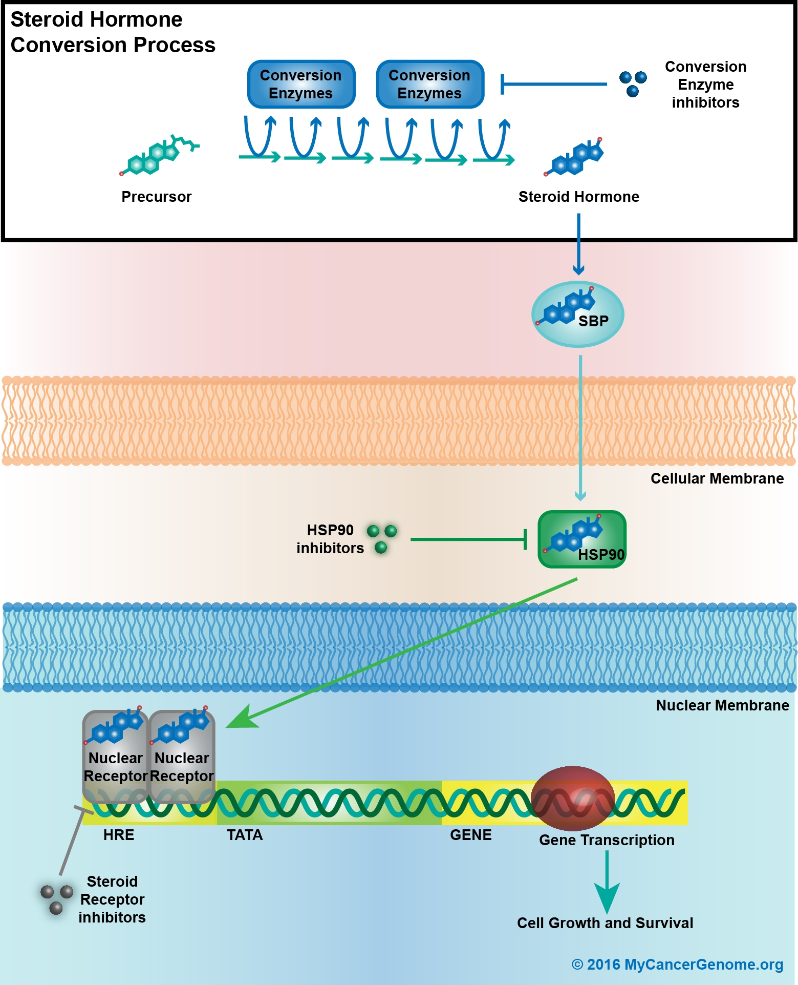 Steroid hormone cell signaling trent steroid