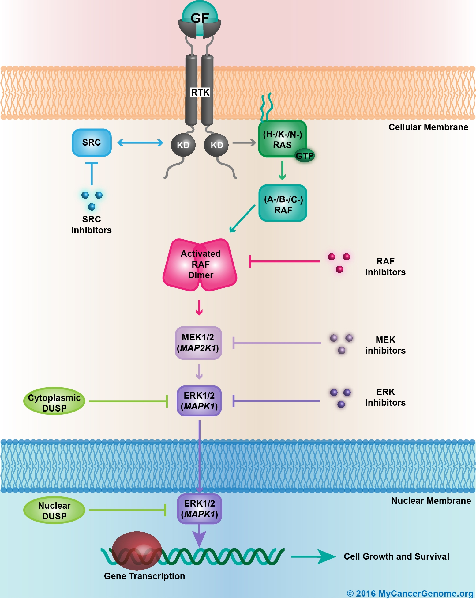 MAP kinase signaling - My Cancer Genome on cyclic adenosine monophosphate, mapk/erk pathway, apoptosis cascade, c-jun n-terminal kinases, jak-stat signaling pathway, protein kinase, adenylate cyclase, pi3k/akt/mtor pathway, protein kinase c, wnt signaling pathway, signal transduction, protein kinase cascade, tyrosine kinase, cyclin-dependent kinase, notch signaling pathway, amyloid cascade, signal transduction pathway cascade, receptor tyrosine kinase, tgf beta signaling pathway, caspase cascade,